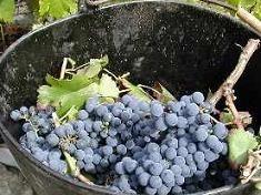 Un vino más saludable si las uvas se tratan con gas de ozono