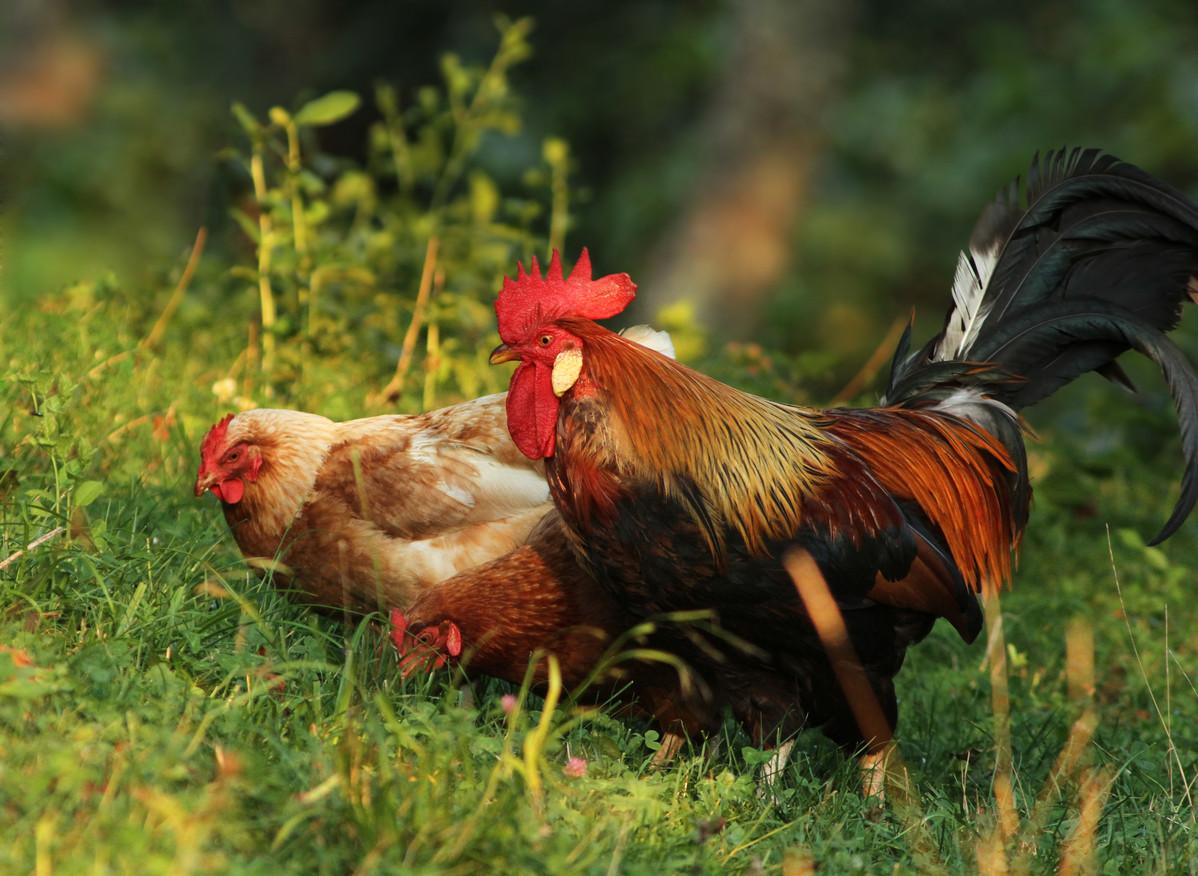 come perdere peso a un gallo da combattimento
