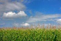¿Qué cultivo es mejor para obtener etanol? ¿Maíz o azúcar de caña?