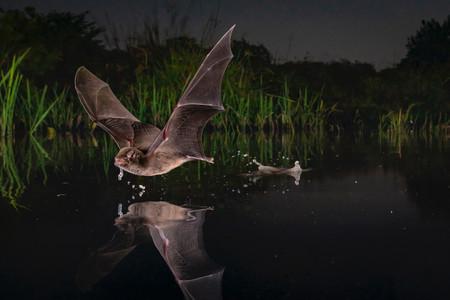Naskrecki Bat