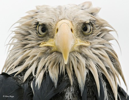 Bold Eagle C Klaus Nigge Wildlife Photographer Of The Year