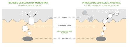Proceso Secreción Grasa-Leche Blanco