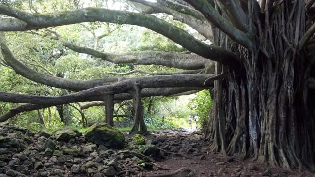 Banyan Tree 514590 960 720