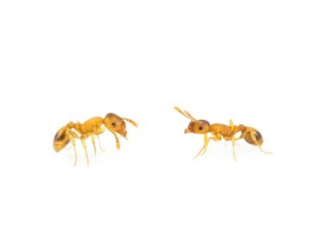 Han descubierto un parásito que parece otorgar juventud eterna a las hormigas de este bosque alemán