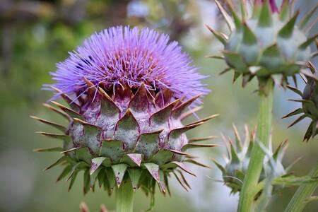 Cardo Flor
