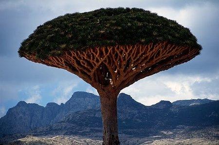 La Sangre de Dragón: sólo puede encontrarse en un rincón del mundo, la isla de Socotra