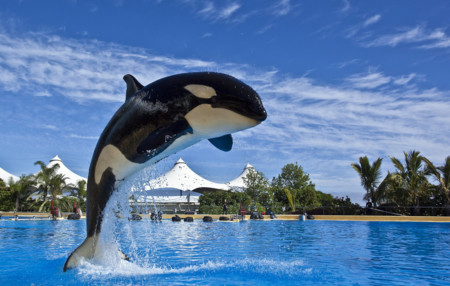"""La historia de Morgan, la orca cuyo """"suicidio"""" se inventaron las redes sociales"""