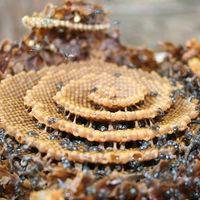 Estas abejas construye sus colmenas en espiral, y nadie parece saber por qué