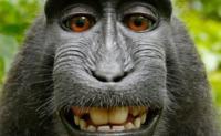 Asunto resuelto: Los tribunales dicen que el selfie del mono no puede tener Copyright