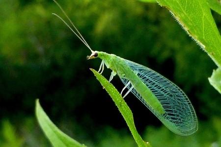 Crisopa Verde