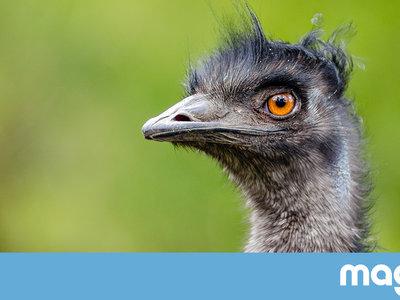Aquella loca ocasión en la que Australia le declaró la guerra a los emus (literalmente)