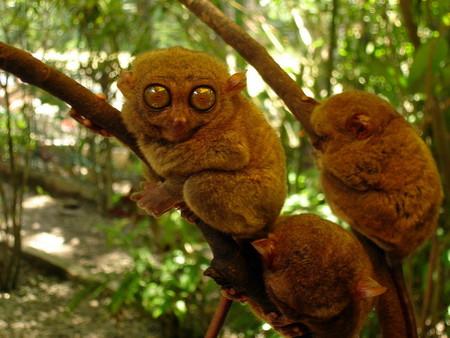 El mejor sitio de Filipinas para contemplar estas curiosas criaturas de ojos saltones