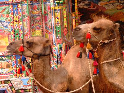 Expulsan a 12 camellos de un concurso de belleza saudí por el uso de bótox