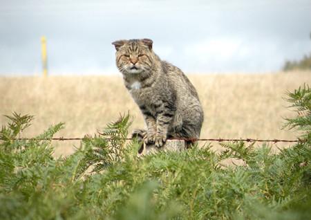 Australia quiere matar a dos millones de gatos salvajes, pero antes quiso matar a otros