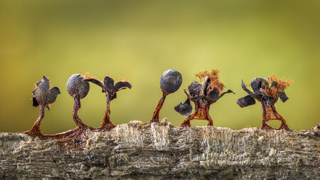 R Barry Webb Slime Moulds On Parade Cupoty