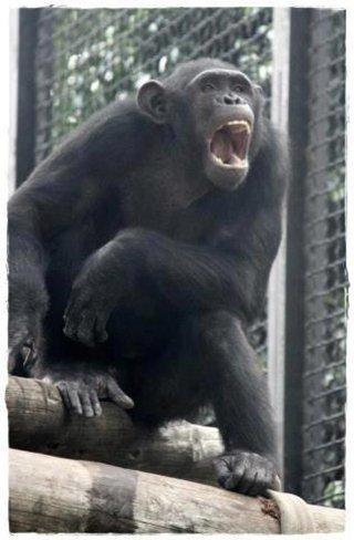 Comprueban lo poco que separa a un humano de un simio en el uso de un iPad (en un Zoo de Jerez)