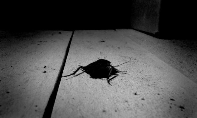 Cucaracha basurera
