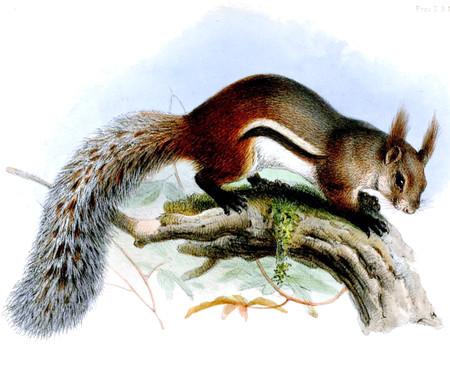 Sciurusmacrotiswolf