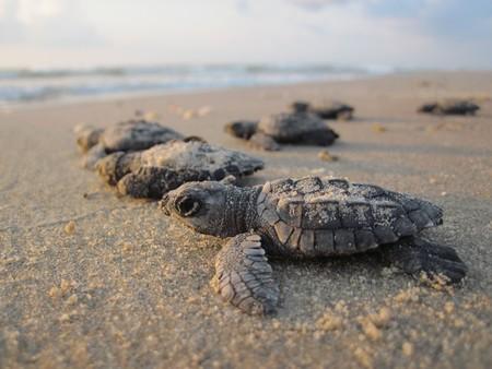 Más de 2 mil huevos de tortuga fueron encontrados en carretera de Oaxaca