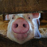 La nueva terapia experimental contra el párkinson combina cerdos e implantes neuronales