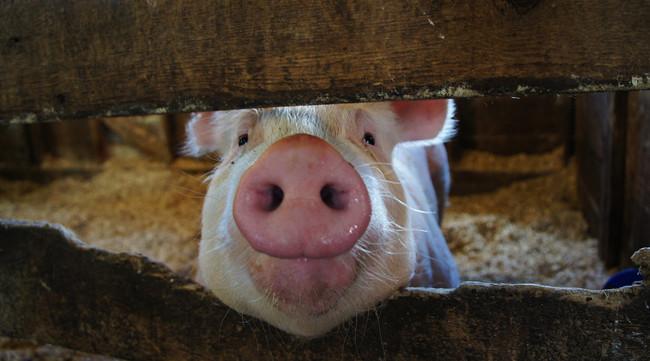 Iowa Pig 7341687640