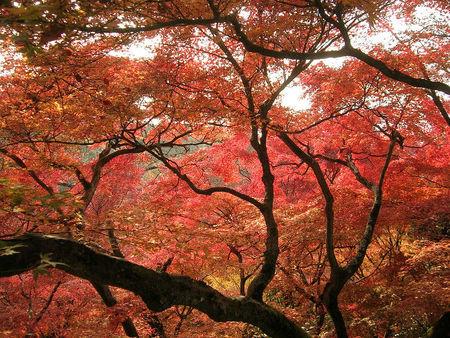 La naturaleza se vuelve roja en Japón durante el koyo