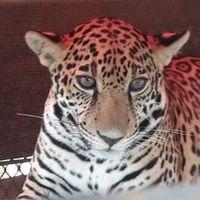 Encerrado en una caja de metal la Profepa encontró a un jaguar de apenas un año de edad en Tulum, Quintana Roo