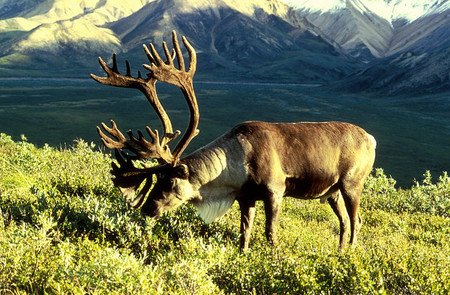 ¿Cuál es la migración animal terrestre más larga?