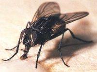 Viva la serendipia (VI): la mosca matemática y la mosca del pipí dulce