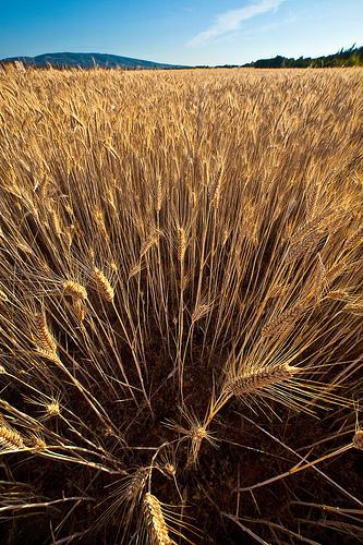 trigo - wheat (Falcon 14mm f/2.8)