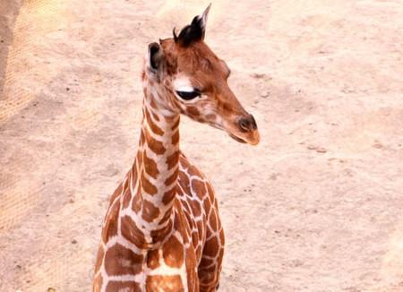 Jirafifíta tiene un nuevo hermano: nace la primera jirafa del 2020 en el zoológico de Chapultepec en CDMX, y también podrás ponerle nombre