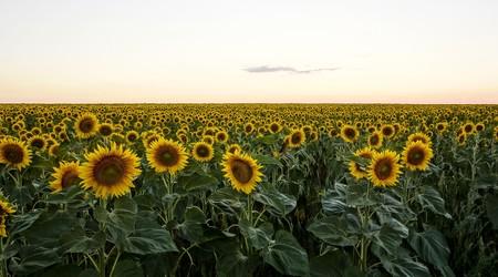 Ruta de los girasoles: los mejores campos de girasoles de España