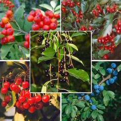 Frutas del bosque, reinas de los postres