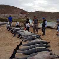 Por qué aparecieron 54 delfines varados en la costa de Baja California Sur, México