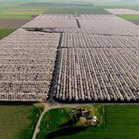 La crisis de la almendra: California, productor del 80% global, está arrancando cultivos por la sequía