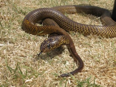 Intenta que no te muerda una serpiente venenosa a partir del verano que viene: podría no haber antídoto