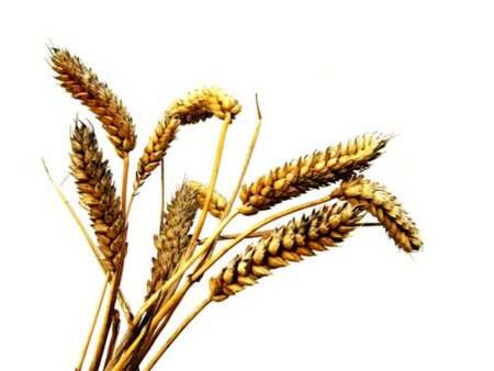 Germen de trigo, infinidad de beneficios para el organismo
