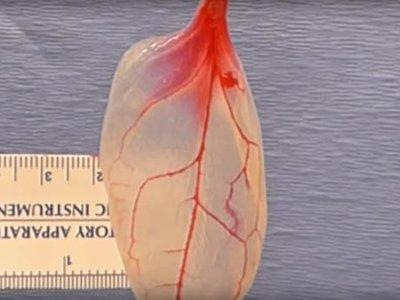 El tejido de este corazón está hecho de espinacas