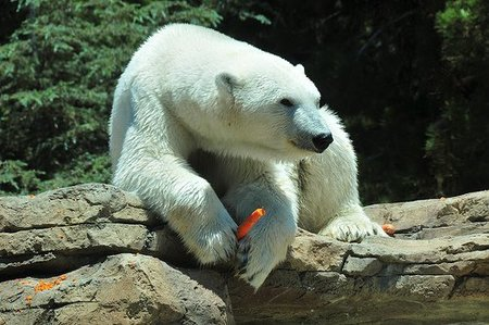 Oso polar comiendo zanahoria.