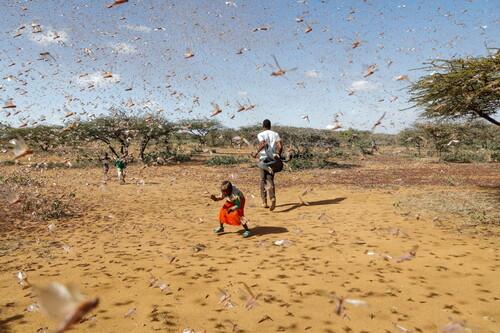 Cómo una app móvil con inteligencia artificial ayudó a contener las plagas de langostas en África en 2020