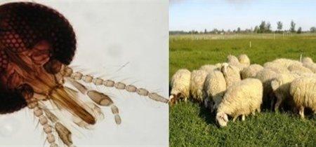 Así es como pica el mosquito que transmite el virus