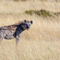 En defensa de las hienas: no son simples carroñeras